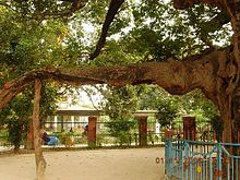 Parijata tree considered a Kalpavruksha, a branch and trunk of the tree is seen.