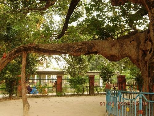 Parijat-tree-at-Kintoor-Barabanki-003