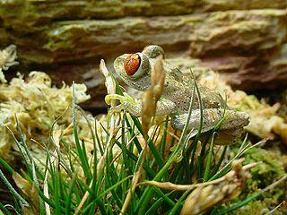 <i>Leptopelis parkeri</i> Species of amphibian
