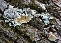 Parmotrema species. Lichen (24247609057).jpg