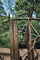 Parque Zoológico de São Paulo - Sao Paulo Zoo - Chimpanzé - Chimpanzee (11540241823).jpg
