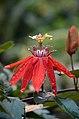Passiflora vitifolia (1).jpg