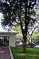 Pau-brasil Palácio dos Bandeirantes 02 2015 SAO103.JPG