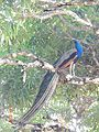 Peacock on very tall tree on Ross Island.jpg