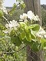 Pear tree Agios Vassilios.jpg