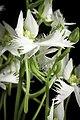 Pecteilis radiata fma. variegata '金星 - Kinboshi' (Thunb.) Raf., Fl. Tellur. 2 38 (1837) (50295992546).jpg