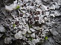 Pectenia cyanoloma 407183.jpg