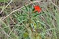 Pedaliaceae (Pterodiscus elliottii) (17232039258).jpg