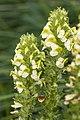 Pedicularis julica 17.jpg