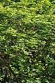 Peltophorum pterocarpum - Kolkata 2011-03-01 1828.JPG