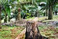Perkebunan kelapa sawit milik rakyat (31).JPG
