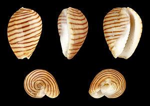 Muricoidea - Image: Persicula cingulata 01