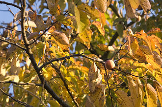 Diospyros virginiana - American persimmon tree bearing fruit in the fall
