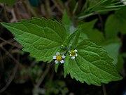 Peruvian daisy.JPG