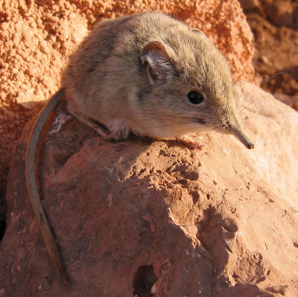 The average litter size of a North African elephant shrew is 2
