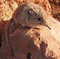Petrosaltator rozeti-Zootaxa.jpg