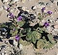 Phacelia calthifolia 5.jpg