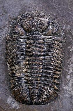 Un Trilobite apparu pendant le dévonien.