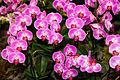 Phalaenopsis Sogo Beach Niep - Internationale Orchideen- und Tillandsienschau Blumengärten Hirschstetten 2016 a.jpg