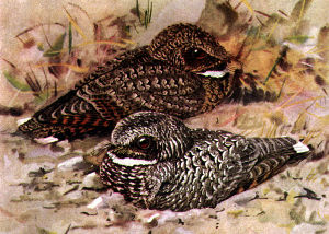 Edmund Jaeger - Edmund Jaeger documented a state of near-hibernation in the common poorwill.