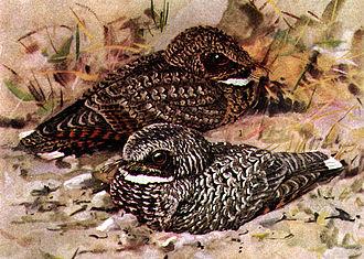 Common poorwill - Common Poorwill, Phalaenoptilus nuttallii. Nominate race in foreground, Dusky Poorwill, Phalaenoptilus nuttalli californicus, in background.