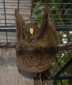 Philippine flying lemur - Mother with infant
