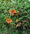 Phlebia radiata 53176798.jpg