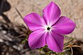 Phlox nana - Flickr - aspidoscelis (4).jpg