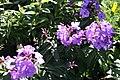 Phlox paniculata Blue Paradise 8zz.jpg