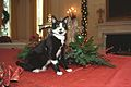 Photograph of Socks the Cat Standing Alongside Christmas Decorations in the White House- 12-05-1993 (6461505161).jpg