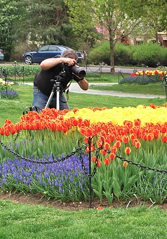 Capital District, New York - A photographer taking in the floral scene at the Tulip Fest, 2009
