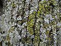 Physconia grisea 3.jpg