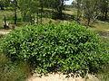 Phytolacca octandra plant4 (14938257211).jpg