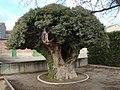 Piñel de Arriba, hiedra 02.jpg