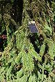 Picea koyamae foliage.JPG