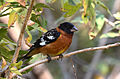 Picogordo Tigrillo, Black Headed Grosbeak, Pheucticus melanocephalus (13362665583).jpg