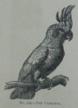 Picture Natural History - No 122 - The Cockatoo.png