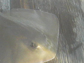 Photo of the front portion of a flattened, olive-colored fish with a blunt snout, lying on a pier