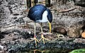 Pied heron in Taronga Zoo.jpg