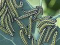 Pieris brassicae caterpillars, Groot koolwitje rupsen.jpg