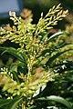 Pieris japonica Forest Flame 2zz.jpg