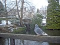 Pigeon and pond - geograph.org.uk - 1383178.jpg