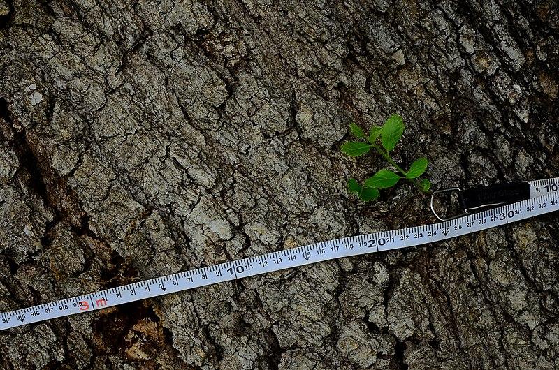 מדידת היקף של אלון תבור בכפר יונה