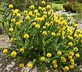 Pincushion (Leucospermum cordifolium) 'Yellow Bird' cultivar ... (32842997191).jpg