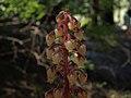 Pinedrops, Pterospora andromedea (16024765358).jpg