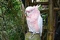 Pink Kakadu Parrot.jpg