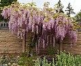 Pink wisteria tree in Auburn WA.jpg