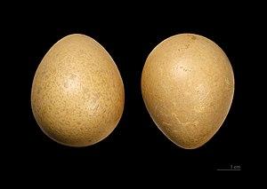Helmeted guineafowl - Eggs of Numida meleagris