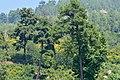 Pinus brutia - Kızılçam - Turkish pine 02.JPG