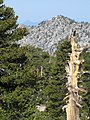Pinus contorta and Ontario Peak from Cucamonga Peak.jpg